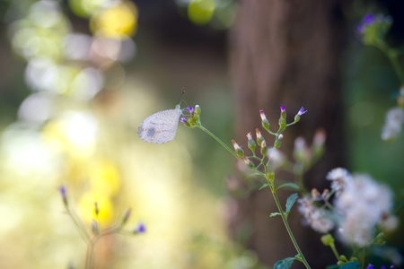 White butterfly (Psyche) on small flower. Beautiful nature.