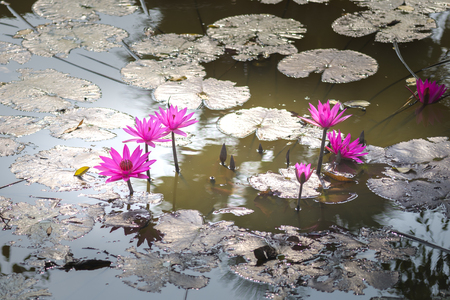 Lotus flowers in the ponds.  This flower is used as a symbol in the teaching of Buddhism.