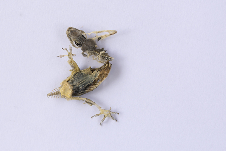 Dead Common Wall Lizard on White paper. Stock Photo