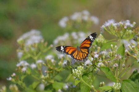 Beautiful butterfly (Common Tiger) on White flowers (Siam weed). Banque d'images