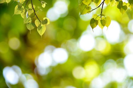 Green backgrounds. Bonhi leaves hanging.