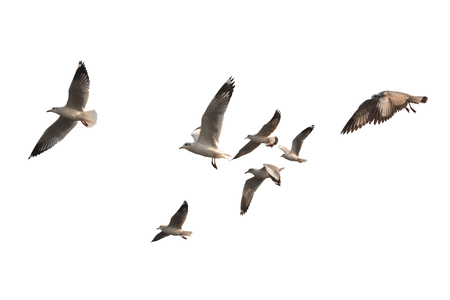 Flock of birds flying isolated on white background. This has clipping path. Stock Photo