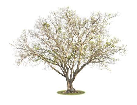 Big leafless tree (Bonhi) isolated on white background.