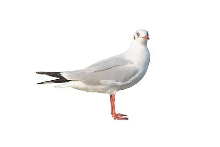 Seagull isolated on white background. Stock Photo
