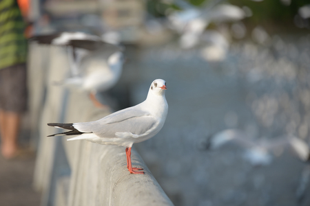 Seagull standing on the cement bar. It looks beautiful in nature.