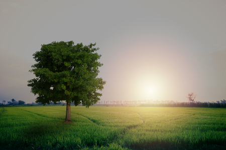 Beautiful nature for background.  A tree in the paddy field.