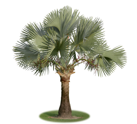 Bismarck palm tree isolated on white background. This has clipping path.