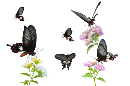 Collection of Red Butterfly (Common Rose) isolated on white background. This has clipping path. Stock Photo