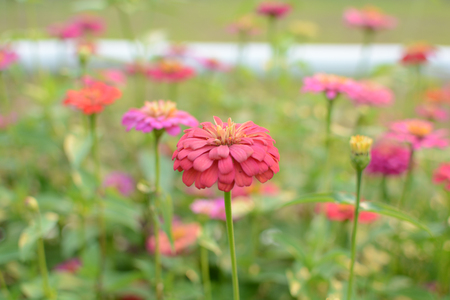 Beautiful colorful flowers (Zinnia) in the garden. Stock Photo