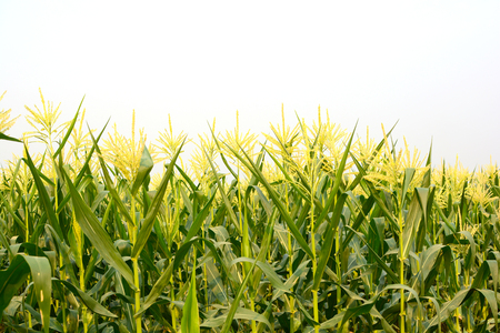 Young plant of corn in the field isolated on white sky.