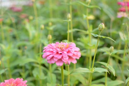 Beautiful pink flower (Zinnia) in the garden.
