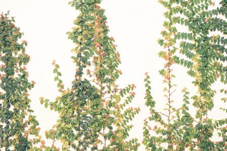 Vine plant climbing on white wall. Stock Photo