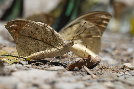 Kaeng Krachan National Park, Phetchaburi, Thailand. Butterflies (The Great Orange Tip) are feeding from the ground.
