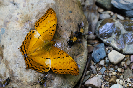 Kaeng Krachan National Park, Phetchaburi, Thailand. Butterflies are feeding from the rock.