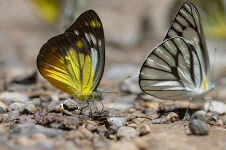 Kaeng Krachan National Park, Phetchaburi, Thailand. Butterflies are feeding from the ground.