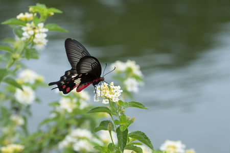 A Red Butterfly (Common Rose) swarming on flowers. Beautiful nature.