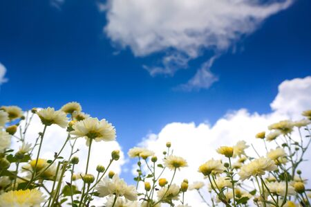 White flowers (Chrysanthemum) and blue sky background.