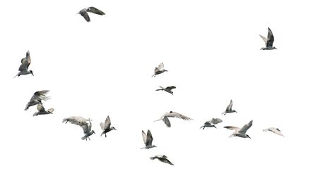 Flock of birds flying isolated on white background. This has clipping path. Stock fotó