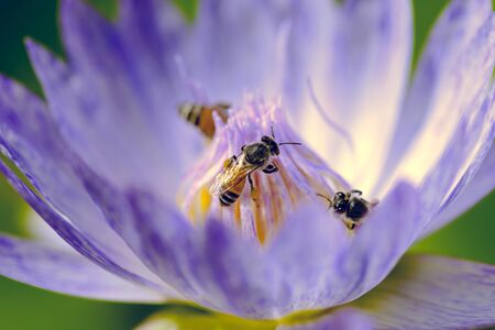 Little honey bees swarming on a Lotus flower. Stock fotó
