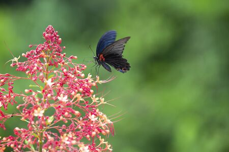 A butterfly (Great Mormon) swarming on the red flowers