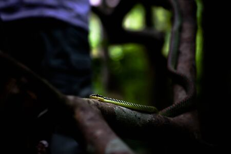 Flying snake (Chrysopelea paradisi paradisi) hiding in the forest.