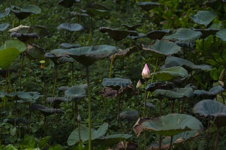 Lotus Flowers floating above the water. This is represented that the characteristics of The Buddha  and His Disciples who is awake, joyful and have no passion.