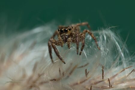 A Spider walks on the white fur of grass. Macro photography. Stock fotó