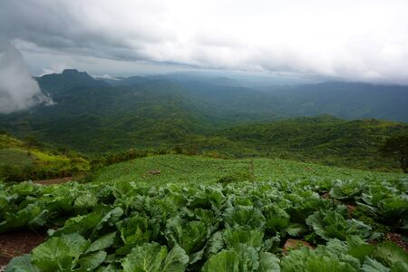 Cabbage farm on the mountain (Phu Tubberk, Thailand) Stock fotó