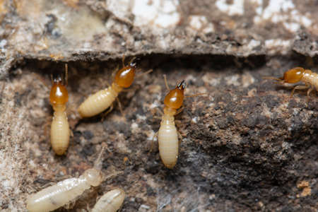 Termites inside the termite bait box. The picture conveys how to get rid of termites in the house.