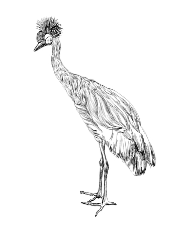Vector Crowned Crane sketch on a white  background.