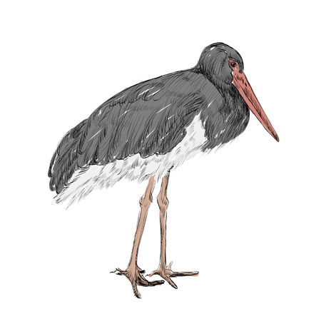 herons: Vector herons sketch on a white  background. Illustration