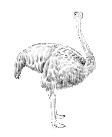 ostrich: Vector sketch  ostrich  on the white background