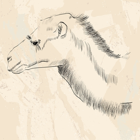 shaggy: sketch of Bactrian camel on a beige background