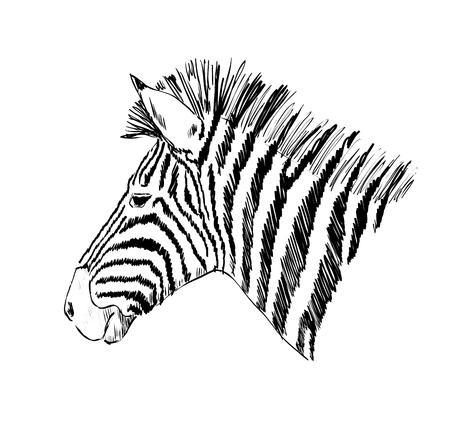 Sketch of a zebra. Hand drawn vector illustration.