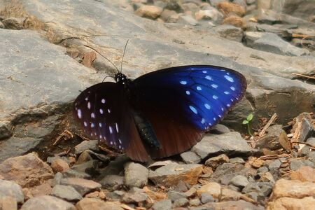 Striped Blue Crow butterfly on a rock Stok Fotoğraf - 132120270