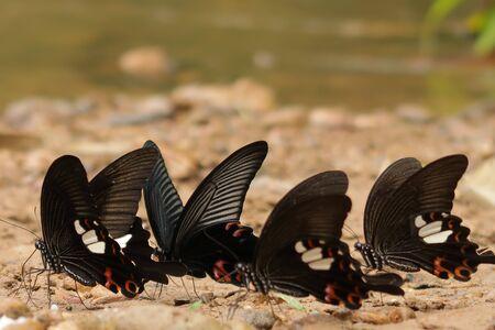 Group of Great Mormon butterflies on rocks near a river