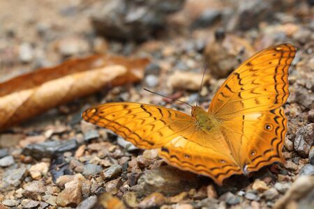Common Cruiser butterfly on rocks