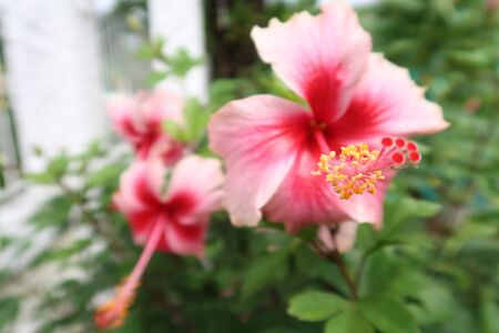 Close-up image of stamen of pink Hibiscus flower with pink Hibiscus flowers background