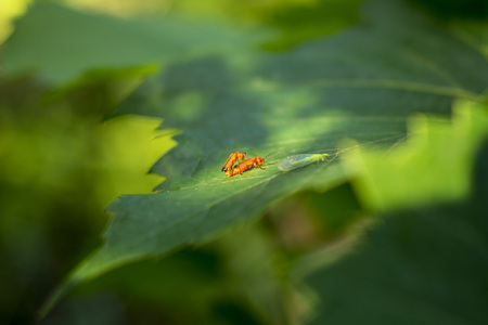 Insects mating on a leaf in the forest.