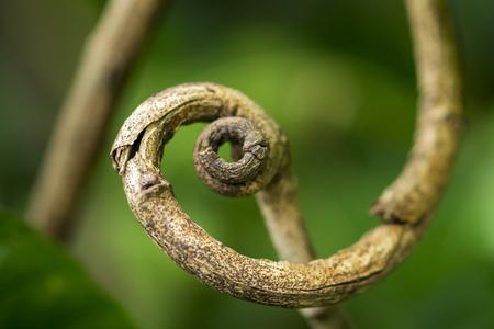 cirrus: Tendril of tree Stock Photo
