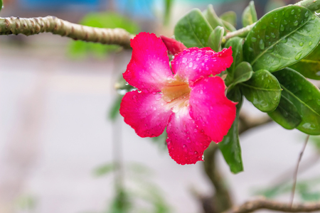 Adenium flower on its trunk after rain.