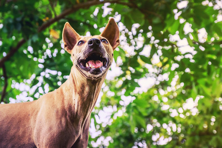 Thailand ugly dogs
