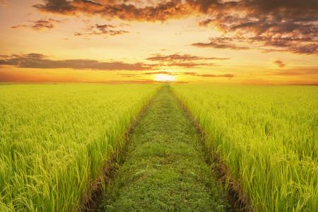 Rijstvelden in de avond, met paden naar de horizon.