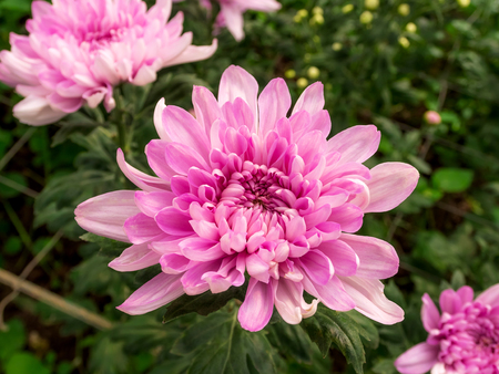 Closeup of purple flowers. (Chrysanthemum)