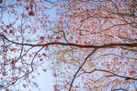 pink flowers (Tabebuia rosea) on the branches, background image Archivio Fotografico