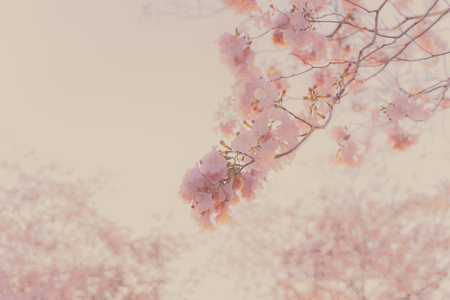 soft focus, pink flowers (Tabebuia rosea) on the branches, background image