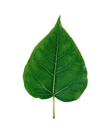 Bhodi Leaves Stock Photo - 14327105