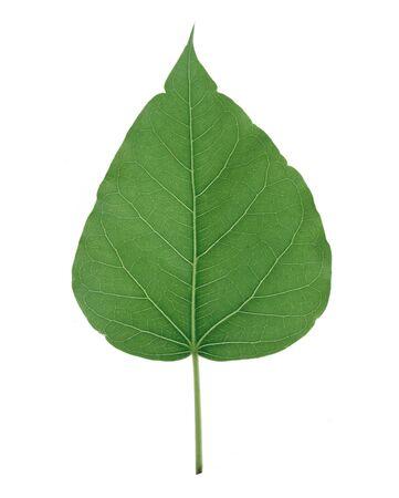 Bhodi Leaves  isolation Stock Photo - 14327106