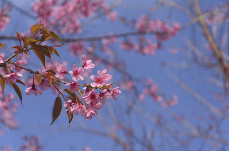 Pink flower on tree with nice blue sky (thailand, sakura) photo