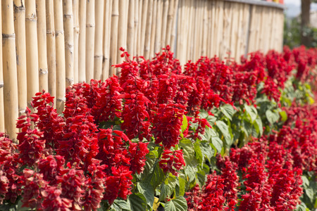 Red Celosia argentea and bamboo wall in the graden